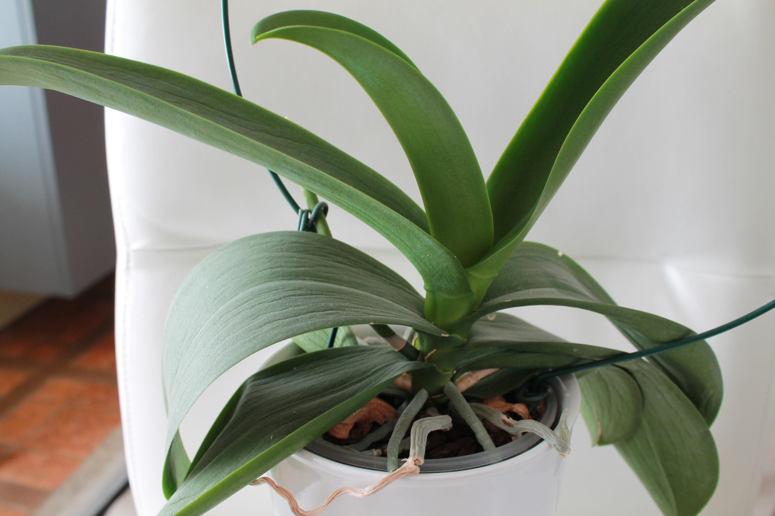 Etat général de mes orchidées  HBYCzu