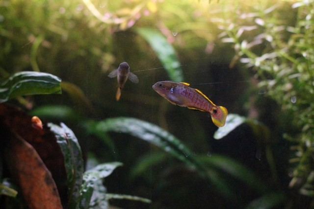 reproduction tateurndina ocellicauda EGhHiq
