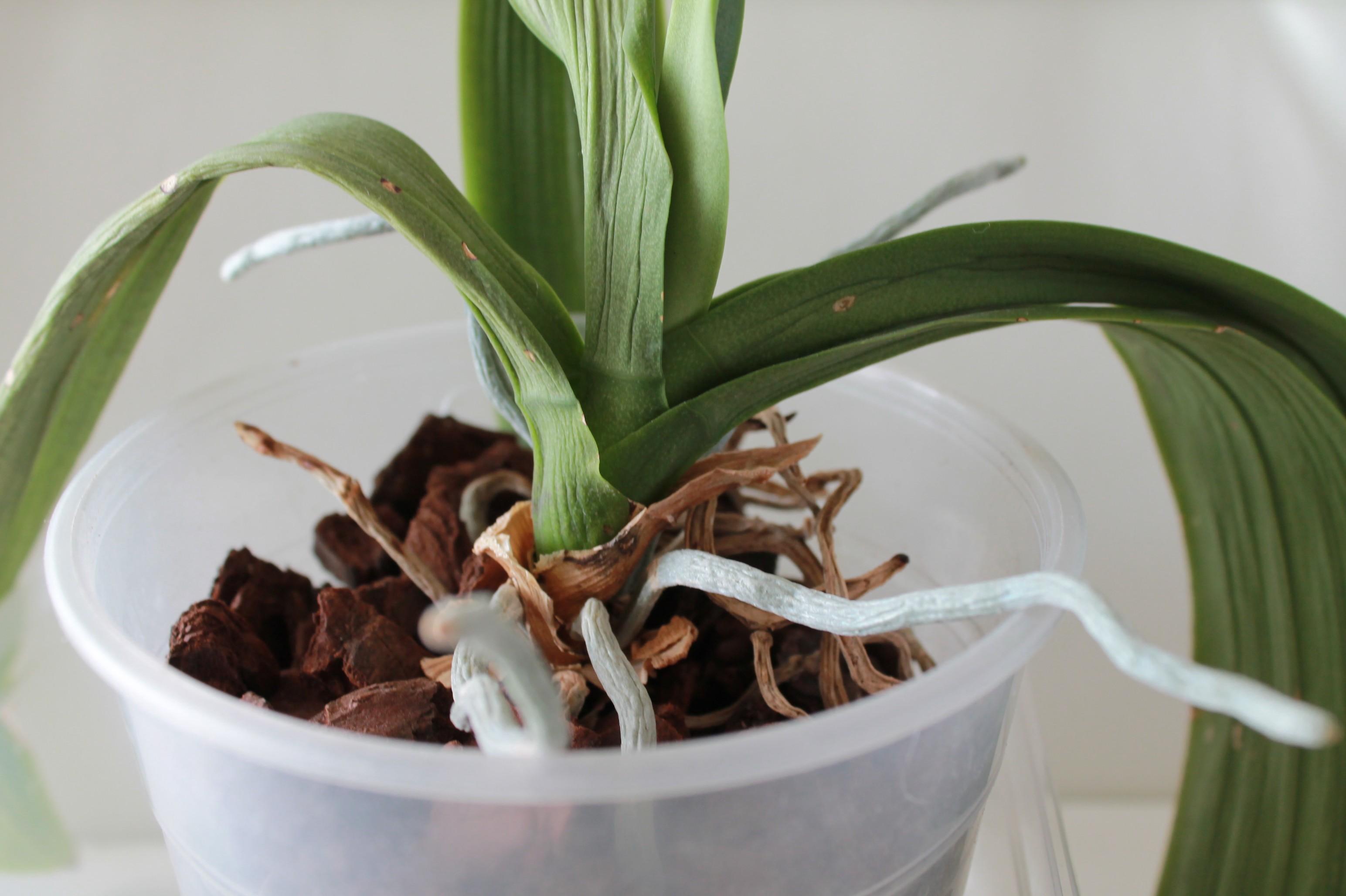 Etat général de mes orchidées  UAjrt2