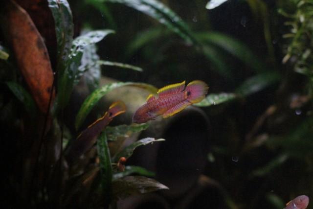reproduction tateurndina ocellicauda GkIGQb