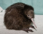 Brown Spotted Kiwi