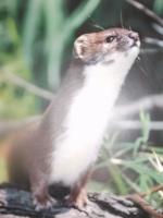 weasel64