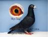 Racing Pigeons, Show & Fancy Pigeons 1106-70