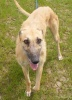 China - Lovely Lurcher Girl
