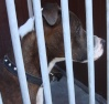 Pip is a brindle and white Staffordshire Bull Terrier cross who is only 18 months old