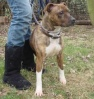 Socks is a Staffordshire Bull Terrier girl who is about 2 years old.