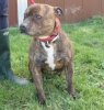 Troy is a really lovely boy Staffordshire Bull Terrier who is about 4 years old