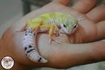 GeckoEyes
