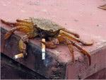 Mr Crabe
