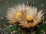 kaktussnake