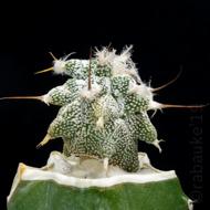 Lophophora 1040-40