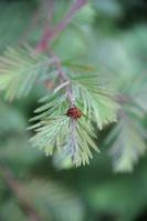 Turbinicarpus 1321-81