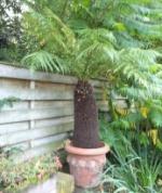 epiphyllumplantage