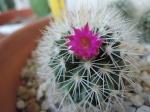 Kaktussi