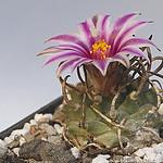 strauchige Aizoaceae 314-17