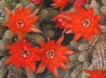 Bromeliaceae 3868-85