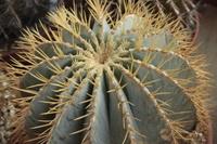 Echinocarpus