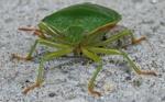 Stachelkrabbler