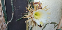 Kaktus siegfried