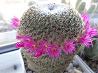 Mammillaria 7811-44