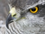 Hawk Eye
