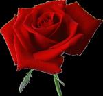 rosavecina