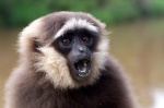 Gibbon_Master