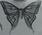 moth wings