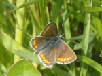 papillon33