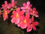 misi.orchidee