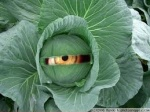human vegetable