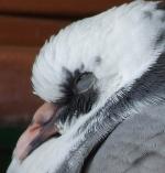 pigeonwriter