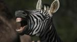 Helvet'Zebra