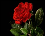 الورده الحمراء