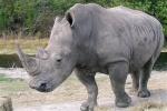 Old Rhino