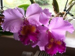 Orchideenforum 1039-26