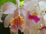 Dendrobium Naturformen 1109-83