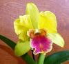 Phalaenopsis Hybriden 2058-53