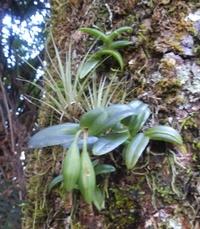 Identifikation für Orchideen 2130-41