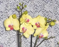 Orchideenforum 2323-7