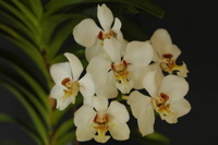 Phragmipedium Naturformen und Hybriden 2436-62