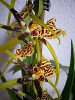 Bilder & Kulturerfolge eurer Orchideen 2508-32