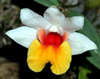 Dendrobium Naturformen 54-8