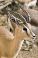 la petite gazelle