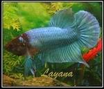 Layana