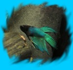 angryladybird