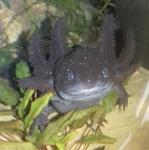 aqualaure