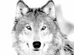 silverwolf31