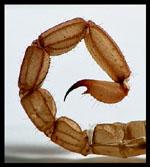 Scorpis