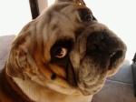 bulldog09